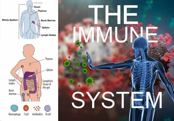 Imunski sistem človeškega telesa